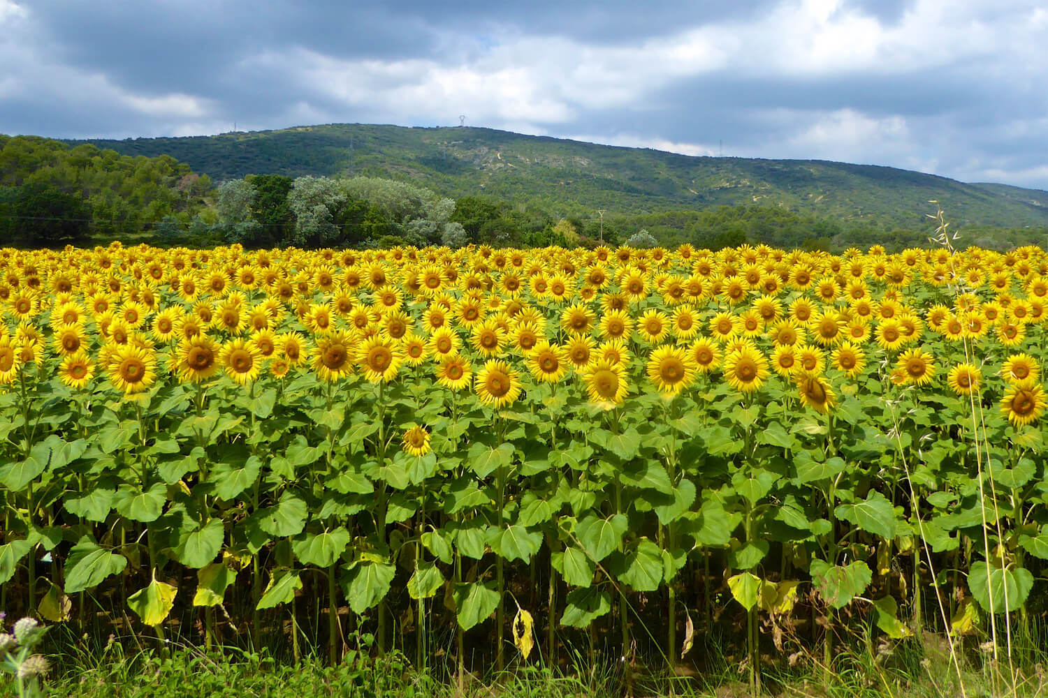 The sunflower field that inspired the title for the novel, The Sunflower Field
